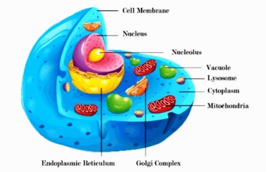 Pengertian Sitoplasma Organel Sel Fungsi Ciri Struktur
