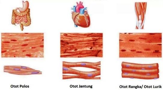 Mekanisme Kerja Otot Berdasarkan Jenis Otot